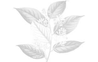 Styrax Leaves